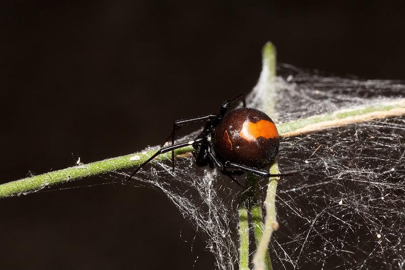 Rotrückenspinne , redback spider