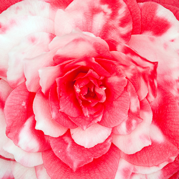 red-and-white-camellia.jpg