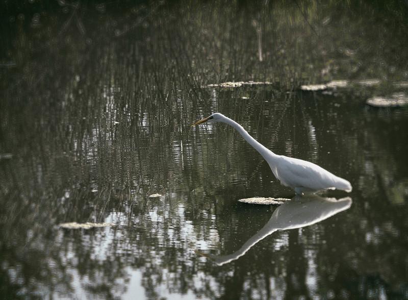 sunday egret wet plate.jpg