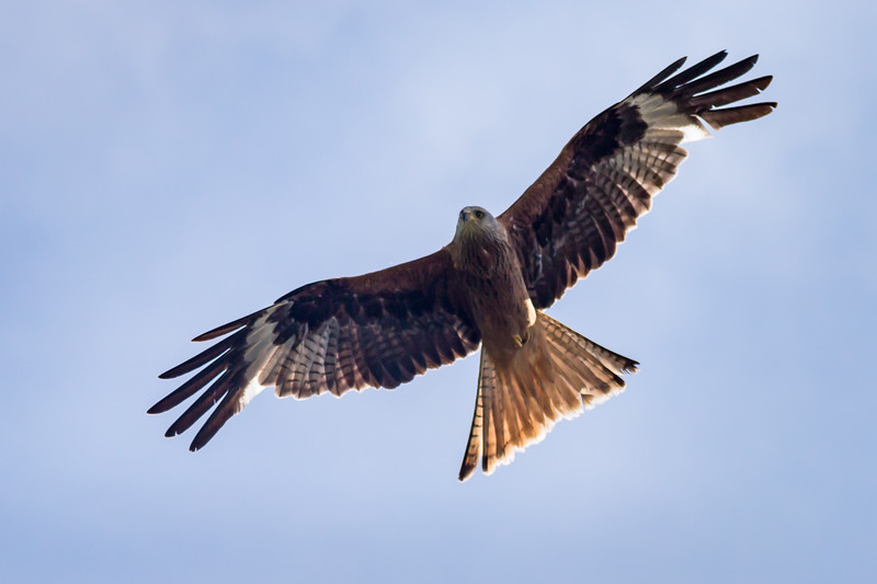 Red Kite Woodstock 2018 (002 of 009).jpg