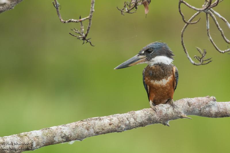Ringed Kingfisher - Amazon, Ecuador