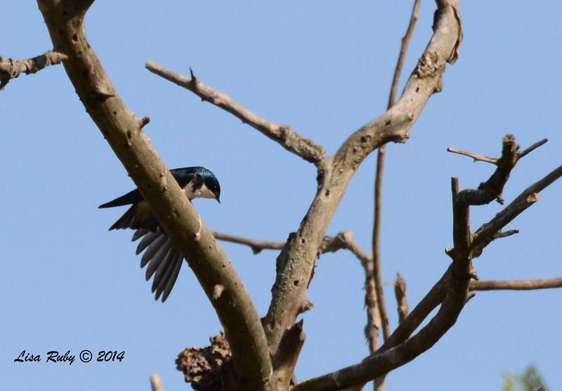 Tree Swallow - 5/4/2014 - Mission Trails Regional Park