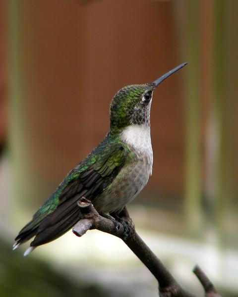 hummingbird_0570.jpg