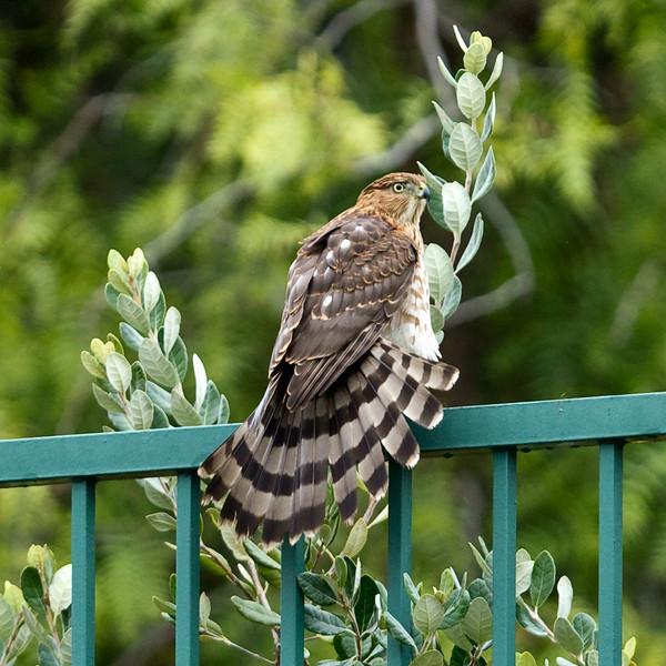 Hawk_02.jpg