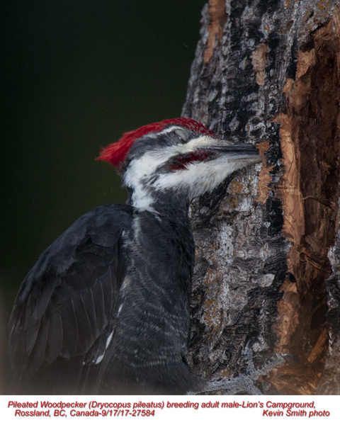 Pileated Woodpecker M27584.jpg