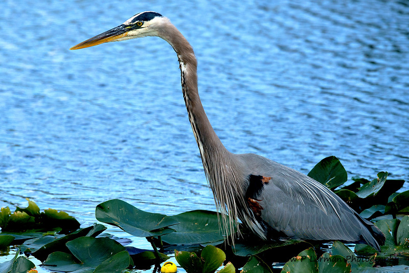 Great Blue Heron   #913