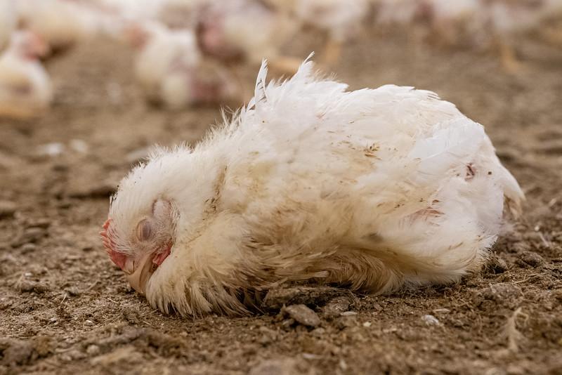7-LDC-poulet-croissance-rapide-immbile.jpg