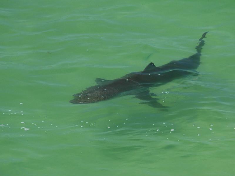 Bronze Whaler Shark.jpg
