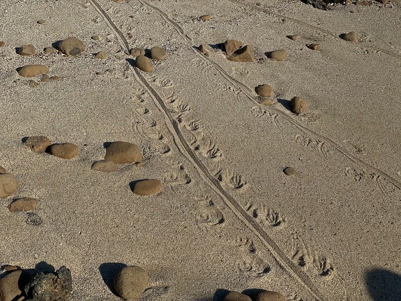 Iguana tracks - Galapagos