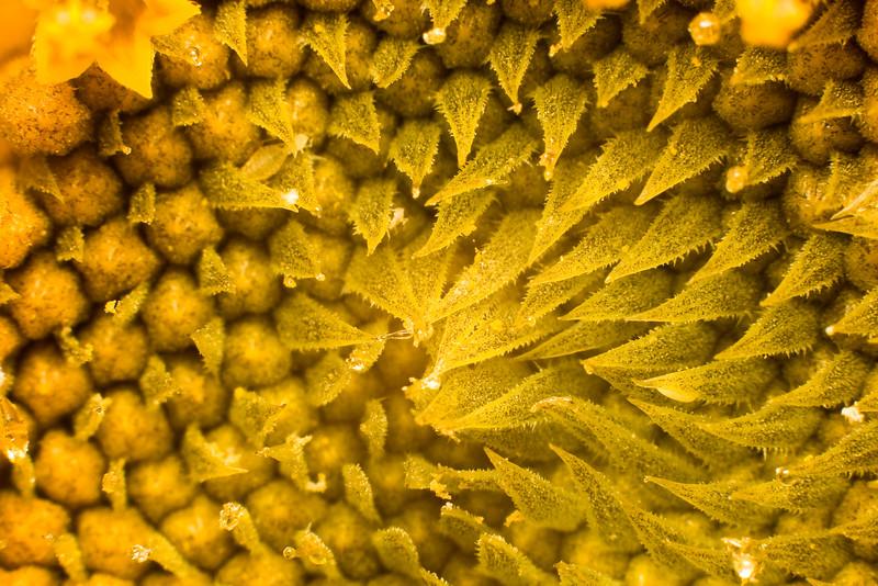 Sunflower Swirls