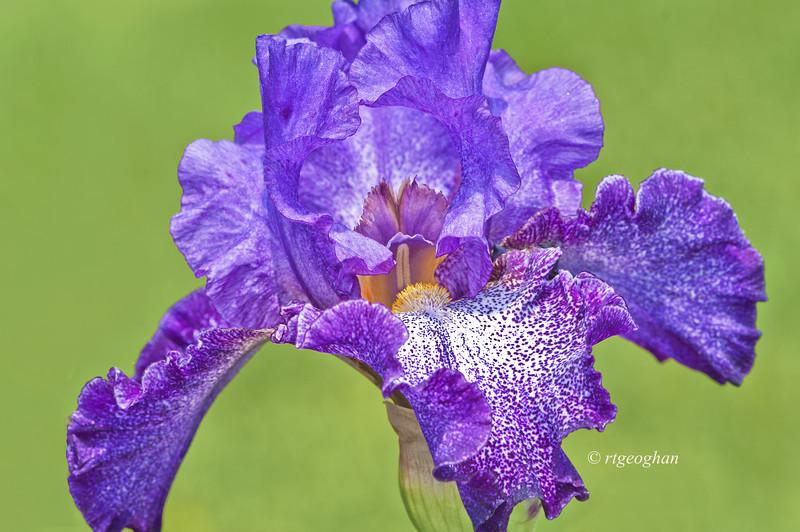 Bearded Iris Celestial Explosion