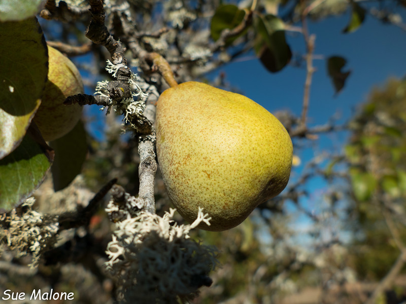 around the property and canning pears-3.jpg