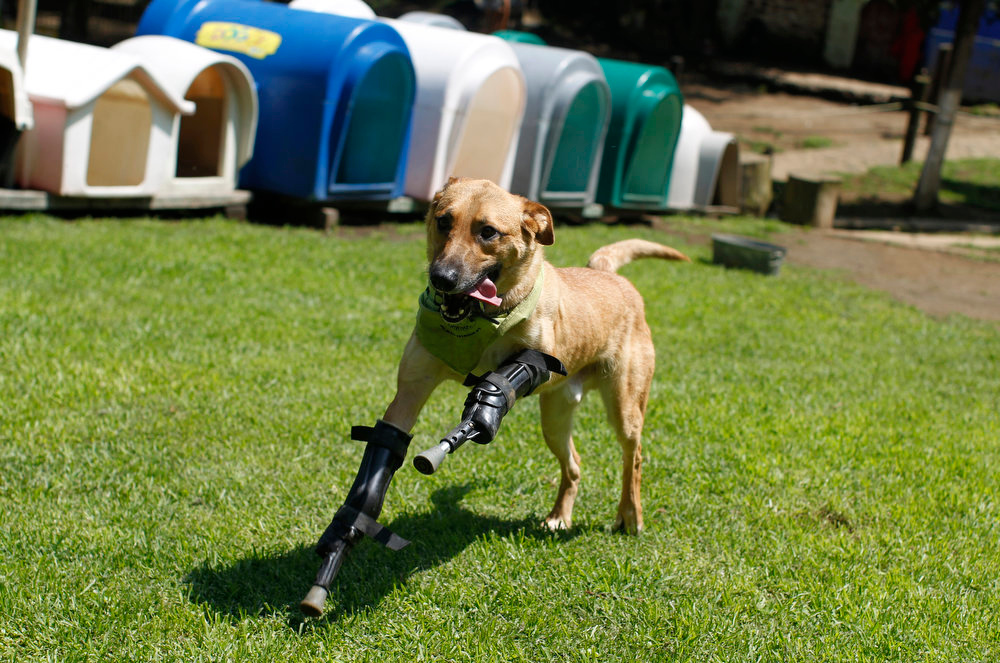 . A dog named Pay de Limon (Lemon Pay) runs fitted with two front prosthetic legs at Milagros Caninos rescue shelter in Mexico City on August 29, 2012. Members of a drug gang in the Mexican state of Zacatecas chopped off Limon\'s paws to practice cutting fingers off kidnapped people, according to Milagros Caninos founder Patricia Ruiz. Fresnillo residents found Limon in a dumpster bleeding and legless. After administering first aid procedures, they managed to take him to Milagros Caninos, an association that rehabilitates dogs that have suffered extreme abuse. The prosthetic limbs were made at OrthoPets in Denver, U.S., after the shelter was able to raise over $6,000. REUTERS/Tomas Bravo