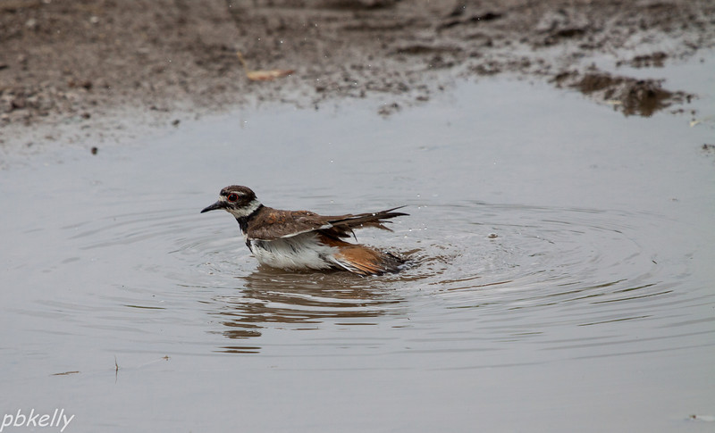 June 8.  When we have this puddle in the driveway, it is like a waterhole in the desert.  Everything comes to drink and bathe in spite of the birdbath and other sources of water around.  But this is the first time I saw a Kildeer take a bath.