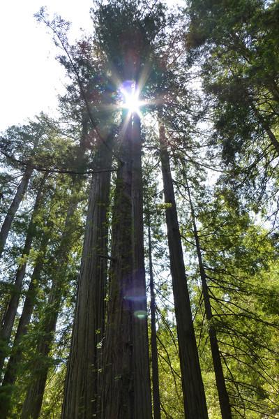 Huge Redwood Trees