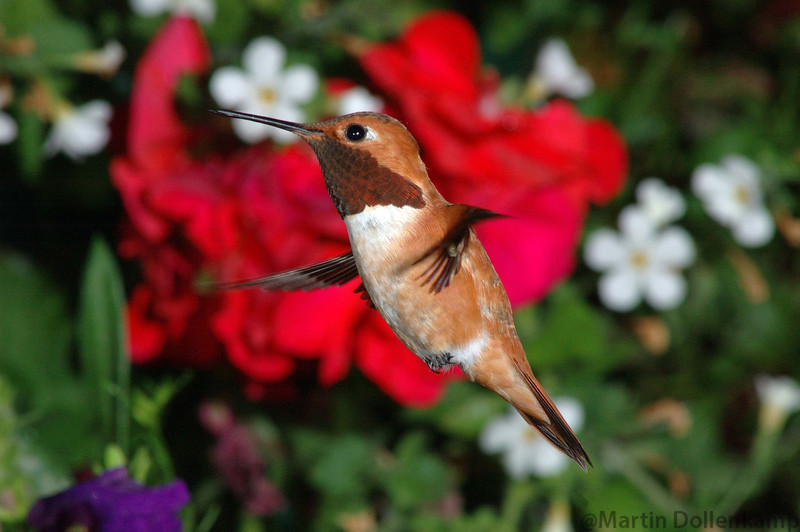 Male Rufous Hummingbird.  Hummers wings travel in a figure eight patern, you can see the cross over point in this picture