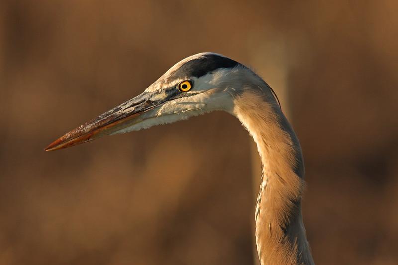 Portrait in Brown- Great Blue Heron Las Gallinas