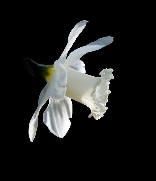 Front Yard Daffodil