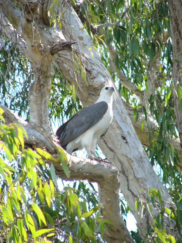 Sea eagle at the Yellow Water Billabong.