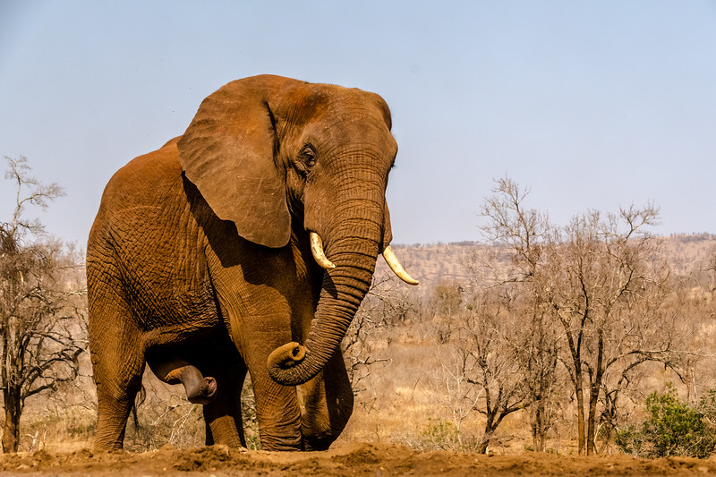 Bull Elephant possibly in Musth - OR . . . . Bloody Hell!