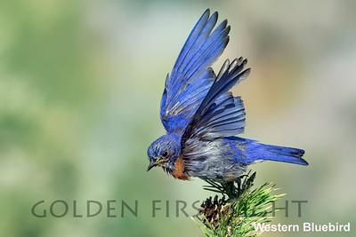 Western Bluebird, Cabin Lake OR, USA