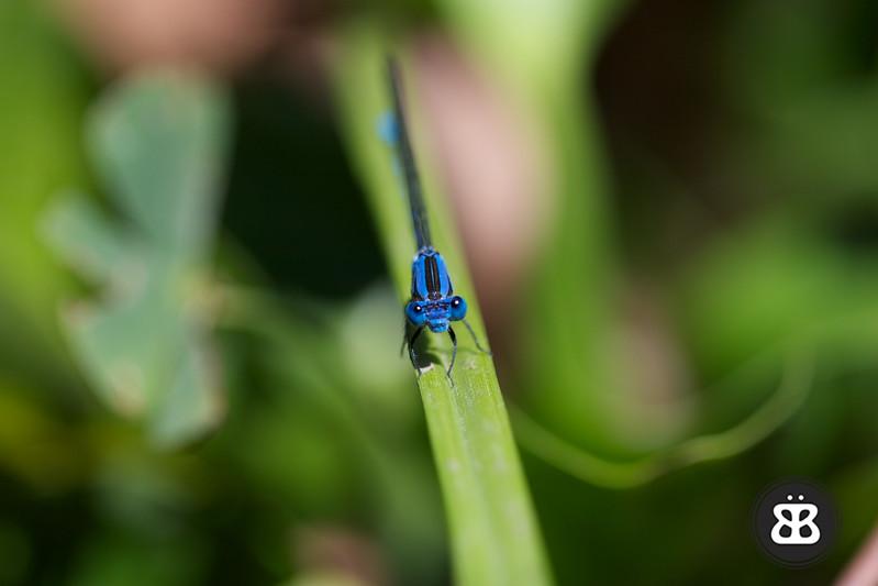 Blue Damselfly 3