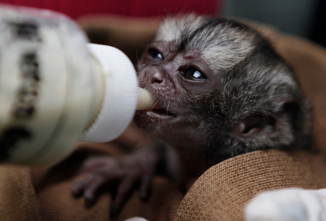 Description of . A 15-day-old night monkey is feed by a veterinarian at a temporary shelter west of Bogota, Colombia, Monday, Feb. 18, 2013.  Sponsored by Bogota's Ministry of Environment, the shelter receives between 3,000 and 3,500 wild animals a year; some seized from poachers and others found hurt. An estimated $560,000 U.S. dollars are spent in the recovery and care of these animals. Seventy percent of rescued animals are reintroduced to their habitat and the remaining 30% are sent to zoos around the country. (AP Photo/Fernando Vergara)