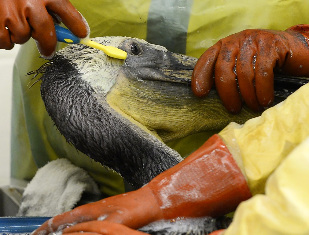 . Volunteers and staff of the International Bird Rescue use a toothbrush and soap to clean oil off a brown pelican  in the San Pedro area of Los Angeles, California on March 22, 2015, who was rescued after being covered in oil from the  Refugio Oil Spill. Oil-covered pelicans, dead lobsters and other marine life have been recovered from the area, where a nine-mile (14-kilometer) long oil spill has closed two beaches normally crowded with tourists, officials said. Plains All American Pipeline made the pledge as it said nearly 8,000 gallons of oil had been scooped up, out of some 21,000 gallons believed to have flooded into the ocean near Santa Barbara, northwest of Los Angeles. AFP PHOTO/ ROBYN  BECK/AFP/Getty Images