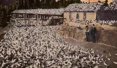 pigeonfarmers.jpg