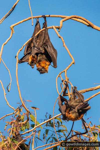 Young Bat