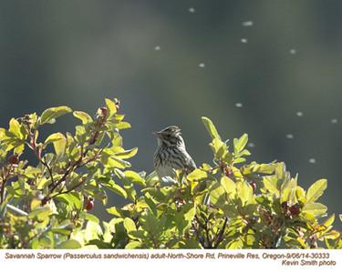 Savannah Sparrow A30333.jpg