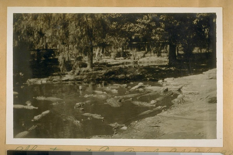 AlligatorsAtLosAngeles-1922-06.jpg