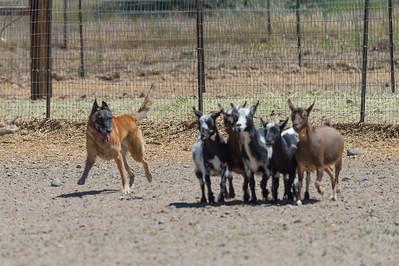 Course A Goats