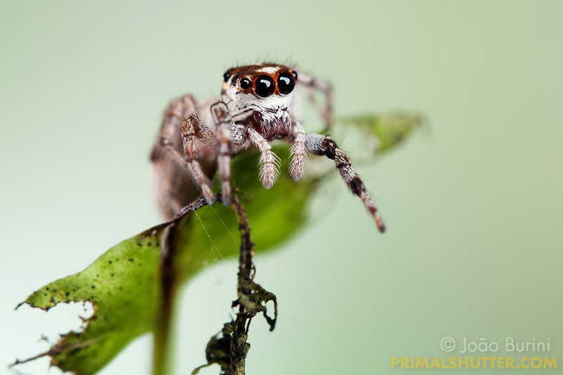 Details of a white jumping spider