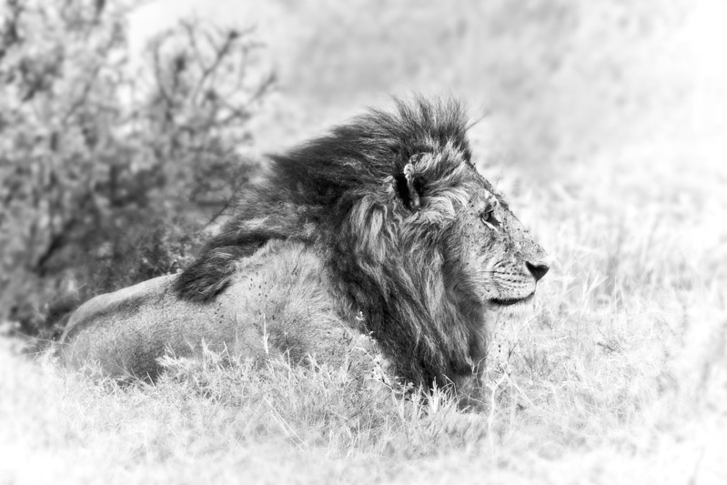 Male lion laying in the wild African bush.