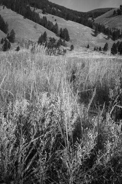 Sage in Montana ranch land, landscape
