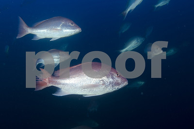 states-offer-plan-to-extend-gulf-red-snapper-season