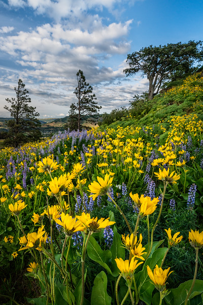 Wildflowers on Rowena Crest