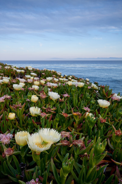 Wildflowers by the coast, Santa Cruz, CA