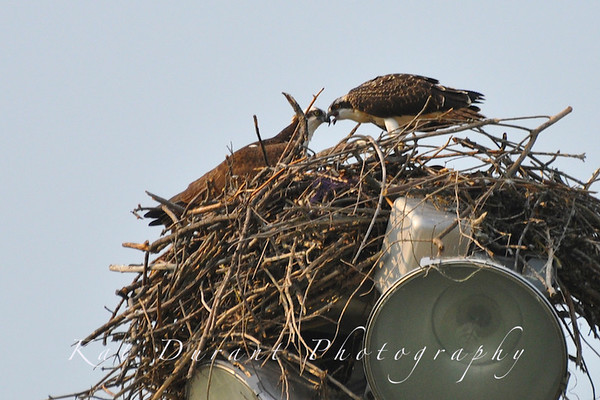 Latest Baby Osprey Shots (First Nest Location)