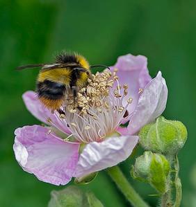 Rubus Fruticosus (Bramble)