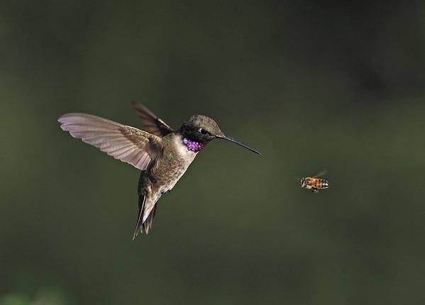Best of Hummingbirds