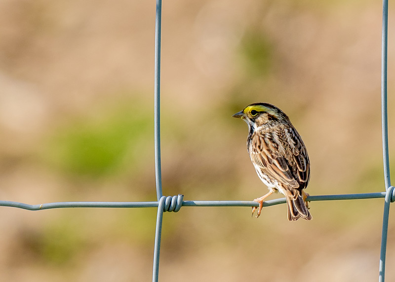 Savannah Sparrow at Wakarusa WWTF, Wakarusa, IN