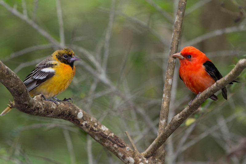 First year male Orchard Oriole faces off with an adult male Scarlet Tanager.