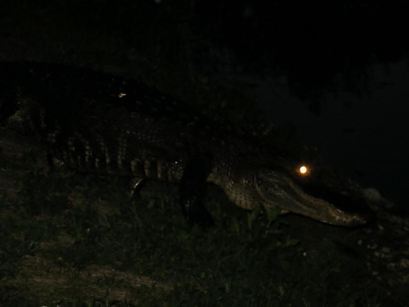 aIMG_1368 alligator on bank just below our trail, Anahinga Trail EvG.jpg