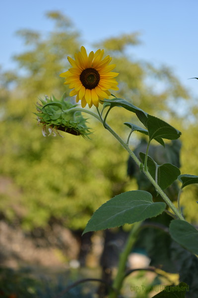 Sunflower Lonay_20092020 (5).JPG