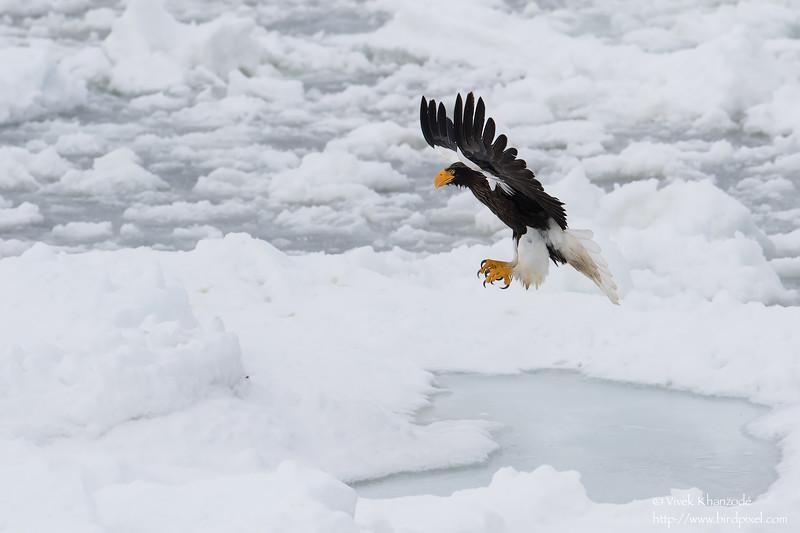 Steller's Sea-Eagle - Hokkaido, Japan