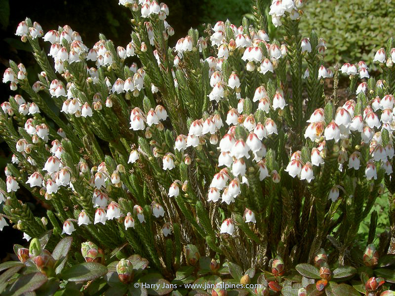 Casiope fastigiata x wardii 'Askival Hybrid'