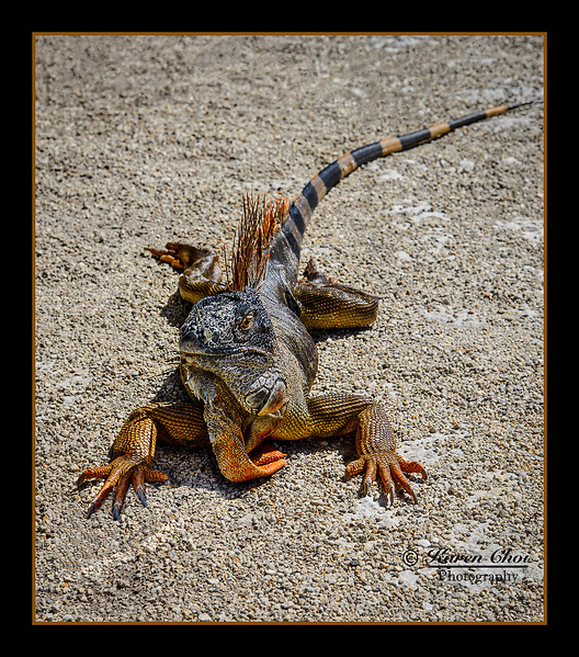 Iguana 3 sm .jpg