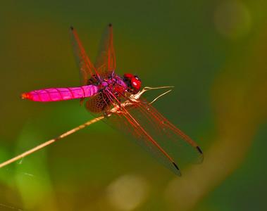 Singapore Dragonflies